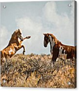 Wild Horse Fight Acrylic Print