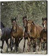 Wild Horse Herd Acrylic Print