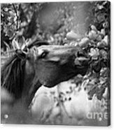 Wild Horse In Dunes Acrylic Print