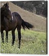 Wild Horse Mare Acrylic Print
