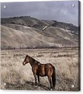Wild Horse Near Fort Tejon State Park Acrylic Print