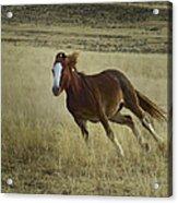 Wild Horse Running-signed-#7273 Acrylic Print
