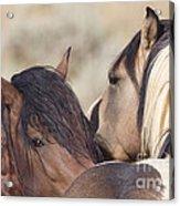 Wild Horse Secrets Acrylic Print