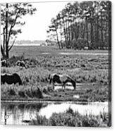 Wild Horses Of Assateague Feeding Acrylic Print by Dan Friend