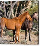 Wild Horses Of Joshua Tree Acrylic Print