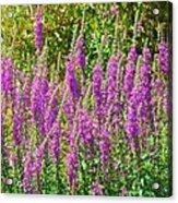Wild Lavender Flowers Acrylic Print