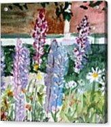 Wild Lupine In Barton Vermont Acrylic Print