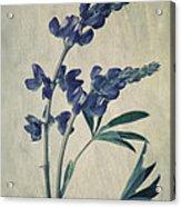 Wild Lupine Acrylic Print