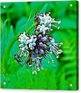 Wild Mint On Great Glacier Trail In Glacier National Park-british Columbia Acrylic Print