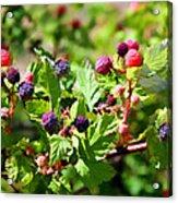 Wild Mountain Berries Acrylic Print