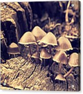 Wild Mushrooms Acrylic Print by Amanda Elwell