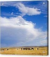 Wild Mustang Herd Grazing Acrylic Print