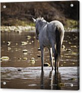 Wild Mustang On The River  Acrylic Print