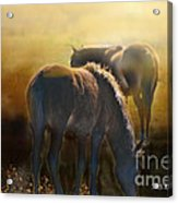 Wild Mustangs In The Mist Acrylic Print