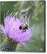 Wild Nectar Acrylic Print