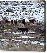 Wild Nevada Mustangs Acrylic Print