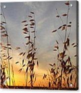 Wild Oats 2am-110425 Acrylic Print
