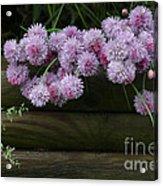 Wild Onion Flowers Acrylic Print