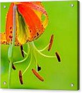 Wild Orange Lilies Acrylic Print
