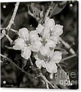 Wild Petunias In Black And White Acrylic Print