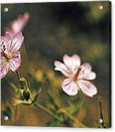 Wild Pink Acrylic Print