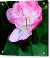 Wild Pink Rose Acrylic Print