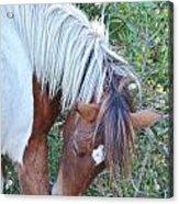 Wild Ponies Of Assateague 21 Acrylic Print