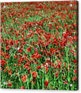 Wild Poppies Growing In A Field, South Acrylic Print