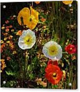 Wild Poppies Acrylic Print by Helen Carson