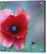 Wild Poppy Acrylic Print