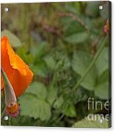 Wild Poppy Rain Acrylic Print by Tim Rice