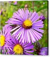 Wild Purple Asters Acrylic Print