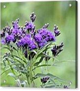 Wild Purple Acrylic Print