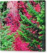 Wild Red Maple Acrylic Print