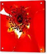 Wild  Red Rose Extrem Macro Acrylic Print