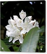 Wild Rhododendron Blossom Acrylic Print