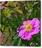 Wild Rose 3 Acrylic Print