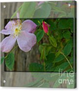 Wild Rose Out Of Bounds 1 Acrylic Print
