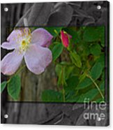 Wild Rose Out Of Bounds 2 Acrylic Print
