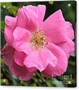 Wild Rose Square Acrylic Print