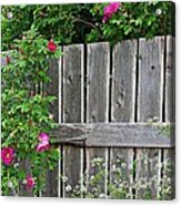 Wild Roses And Weathered Fence Acrylic Print