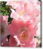 Wild Roses Acrylic Print