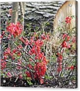 Wild Roses In Wood Acrylic Print