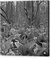 Wild Skunk Cabbage Bw Acrylic Print