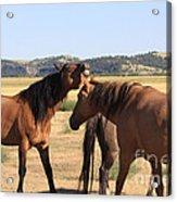 Wild Spanish Stallion In Charge Acrylic Print
