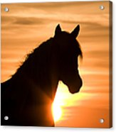 Wild Stallion At Sunrise Acrylic Print