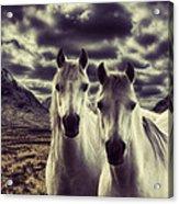 Wild Stallions Acrylic Print
