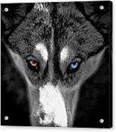 Wild Stare Acrylic Print by Karen Lewis