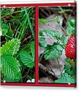 Wild Strawberry Plant - Fragaria Virginiana Acrylic Print