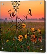 Wild Sunflowers At Dawn Acrylic Print
